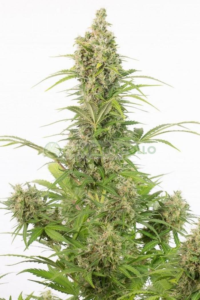 White Widow Auto CBD (Dinafem) 10 semillas