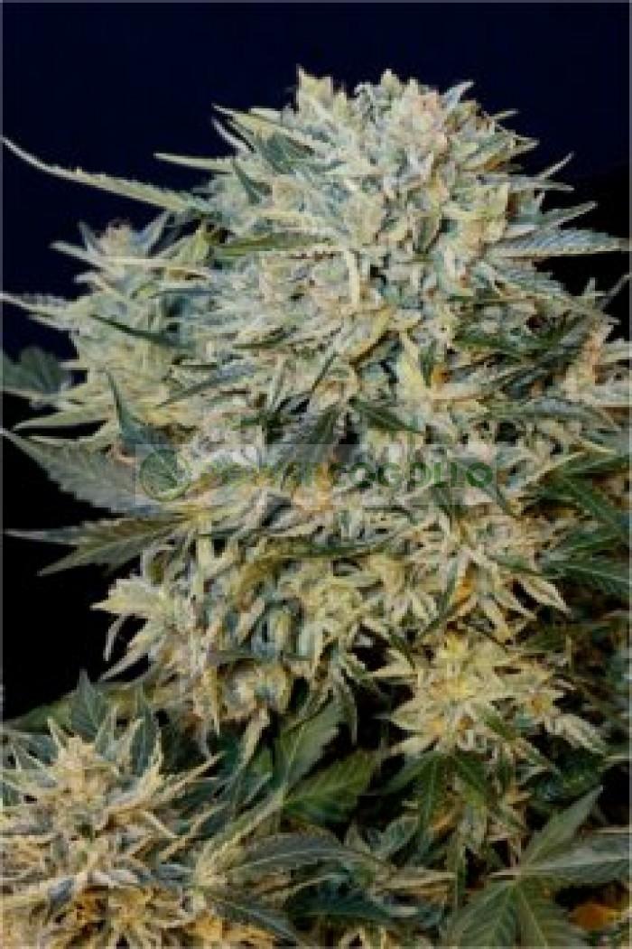 Sugar Gom Automatic (GRass-o-Matic) Semilla feminizada Autofloreciente Cannabis