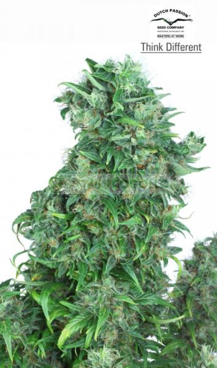 Think Different Auto (Dutch Passion) Semilla Autofloreciente Feminizada Cannabis
