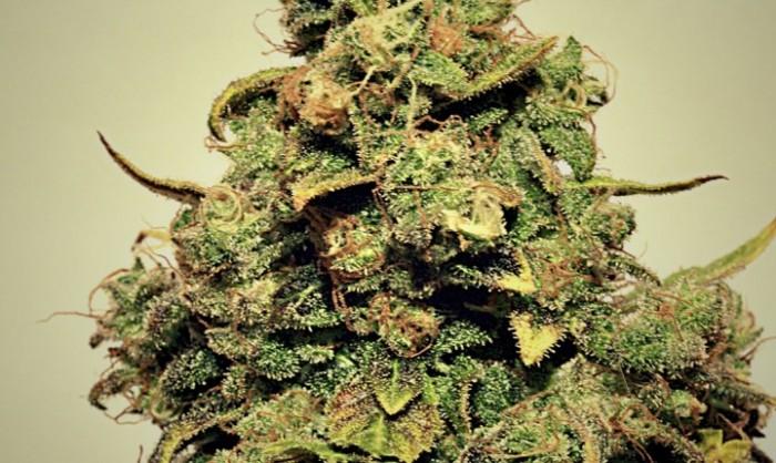 Chemgos (Pepita Seeds)Feminizada Cannabis Semilla Barata