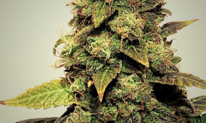 La Moreneta (Pepita Seeds) Semilla Feminizada Marihuana,