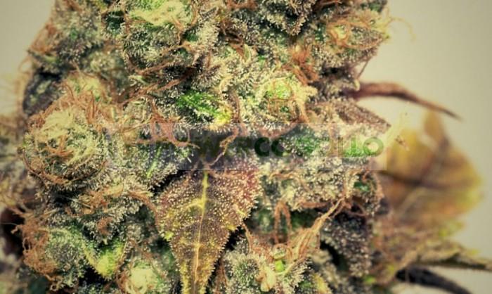 Bluesmog (Pepita Seeds) Semilla Feminizada Marihuana
