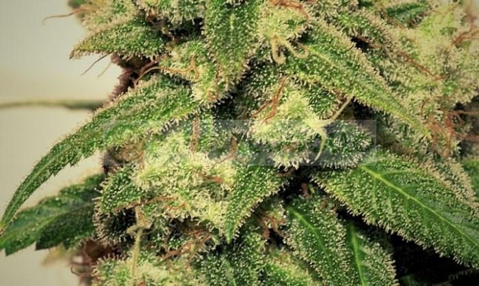 Cheese + (Pepita Seeds) Semilla Feminizada Marihuana