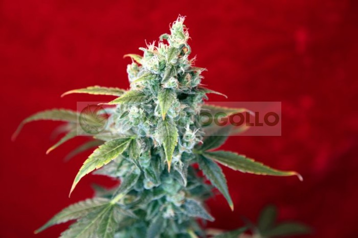 Sra. Amparo (Reggae Seeds) Semilla Feminizada