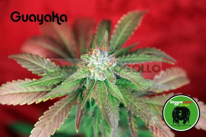 Guayaka (Reggae Seeds) SEmilla Regular de Cannabi