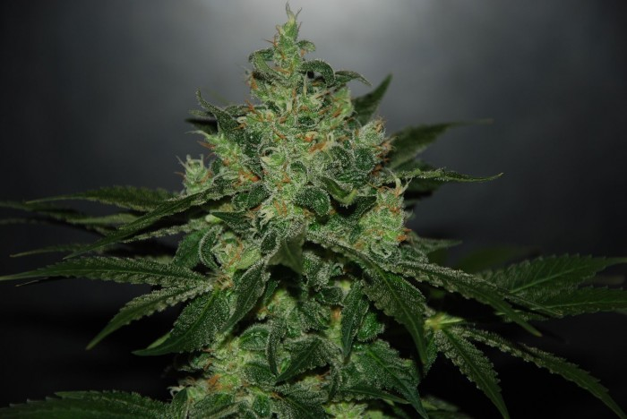 Critical Jack Herer Auto (Delicious Seeds)
