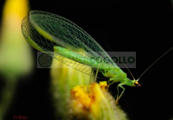 Chrysoperla (contra Pulgón lucha biológica para combatir plagas en el cultivo