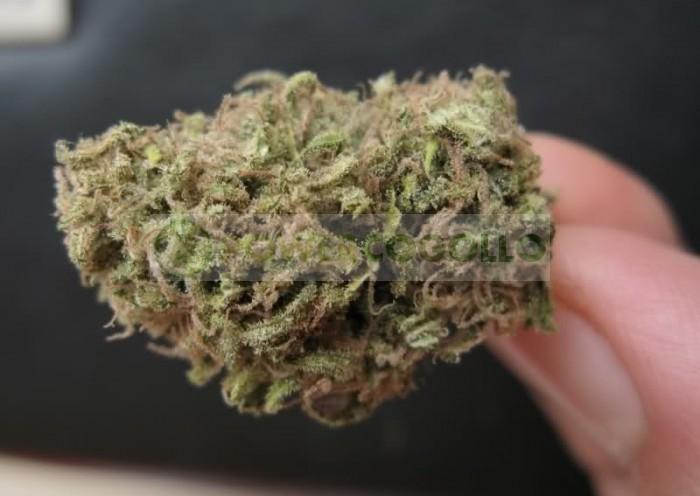 Jack la Mota (Medical Seeds) Feminizada