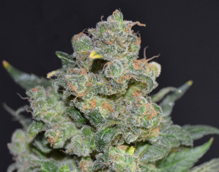 Cheese Feminizada de CBD Seeds Semillas de Cannabis