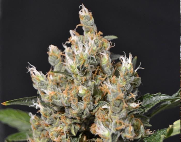 Semilla Kali Feminizada (CBD Seeds) de Marihuana