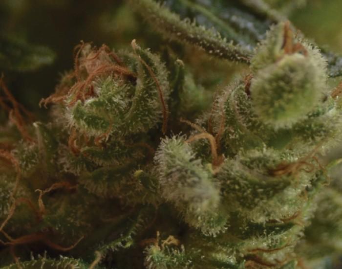 One to One Semilla feminizada de Cannabis de CBD Seeds Bank