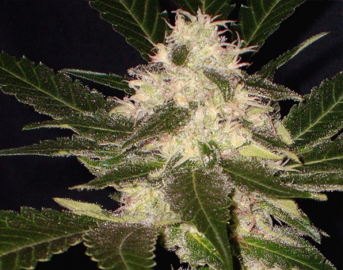 Widow Feminizada (CBD Seeds) Semillas Feminizadas