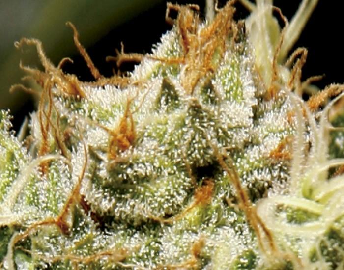 Yumbolt Feminizada CBD Seeds