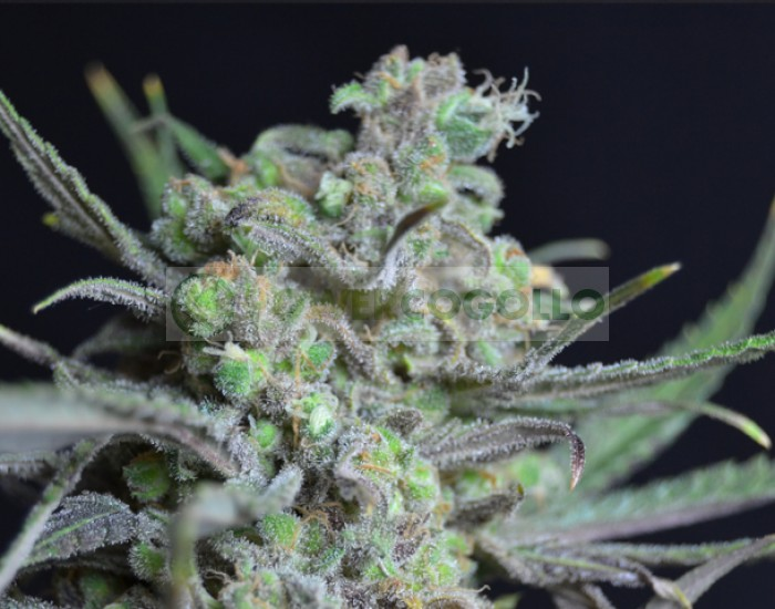 Critical de CBD Seeds Semilla Feminizada Marihuana
