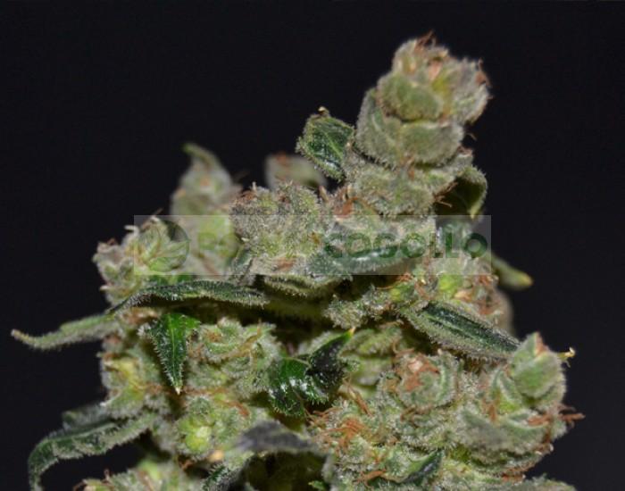 Diesel de Cbd Seeds Semilla Cannabis Feminizada