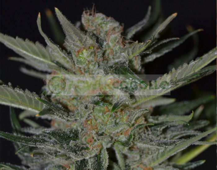 Domina Semilla Feminizada (CBD Seeds) de marihuana