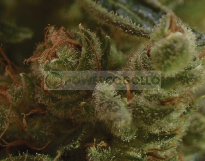 One to One Semilla feminizada de Cannabis de CBD Seeds Bank