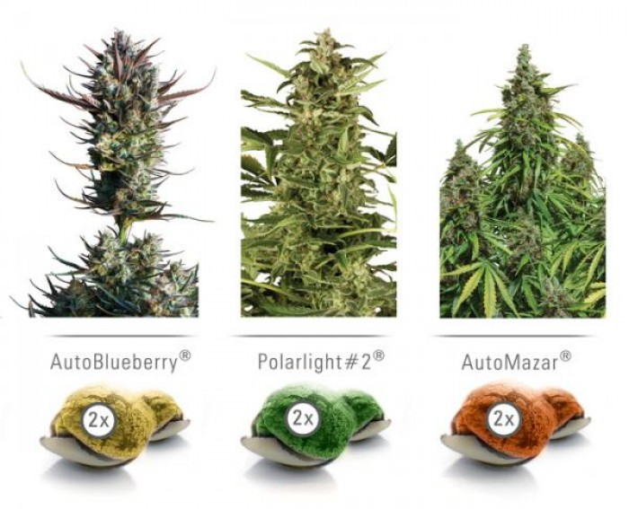 Colour Mix 6 Auto (Dutch Passion) Semilla Autofloreciente Cannabis
