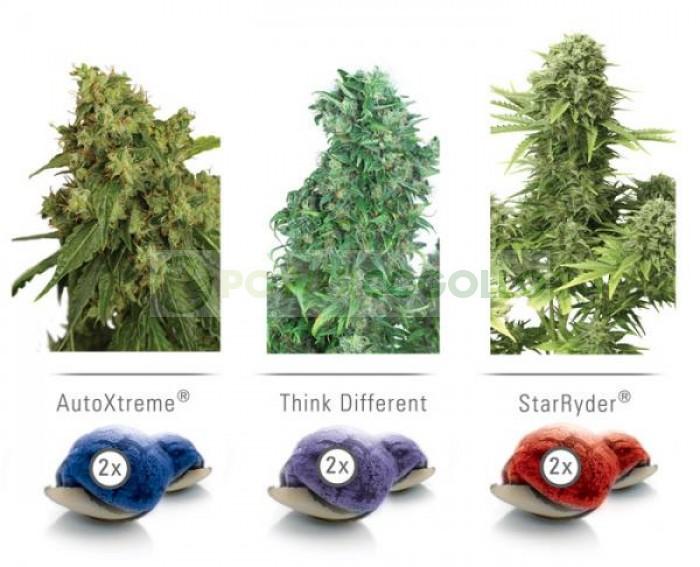 Colour Mix 7 Auto (Dutch Passion) Semilla Feminizada Autofloreciente Marihuana
