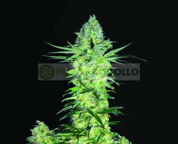 Goddess Kali (Biohazard Seeds) Semilla Feminizada
