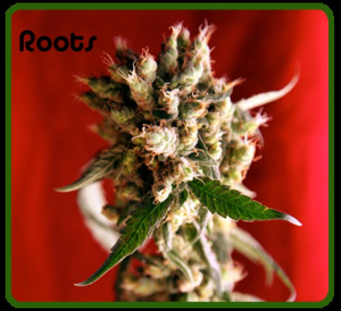 semilla Roots (Reggae Seeds)