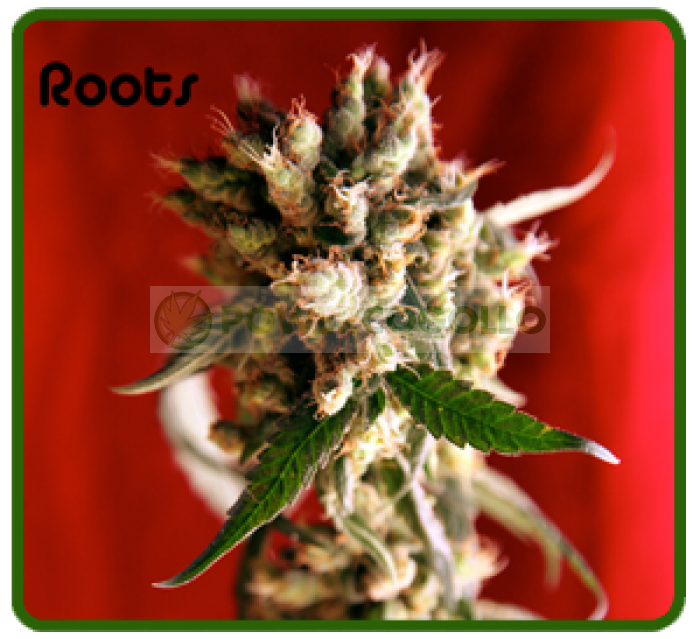 semilla Roots (Reggae Seeds)