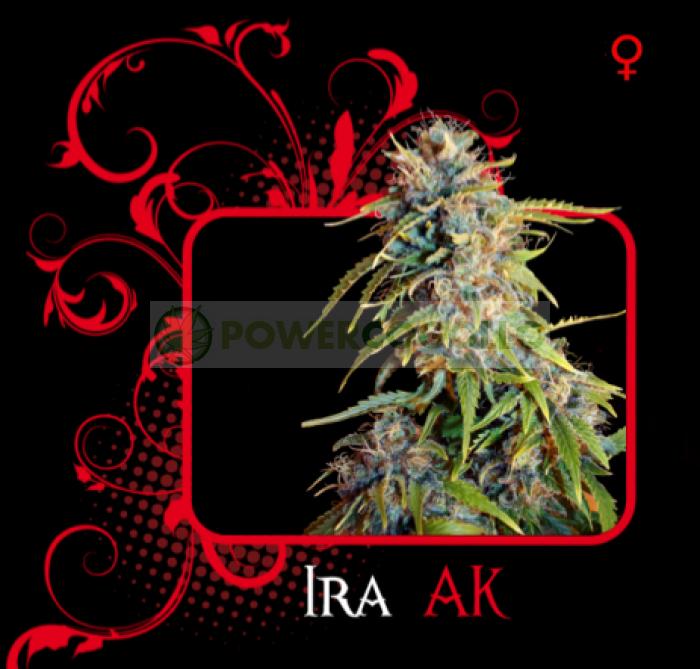 Ira Ak (7 Pekados Seeds) Semilla feminizada Marihuana Barata Ira Ak (7 Pekados Seeds) Características: ak47, ak-47 seeds, semilla, graines