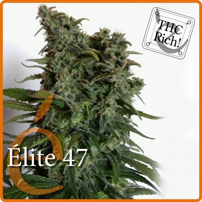 Élite 47 (Elite Seeds) Semilla Feminizada Cannabis-