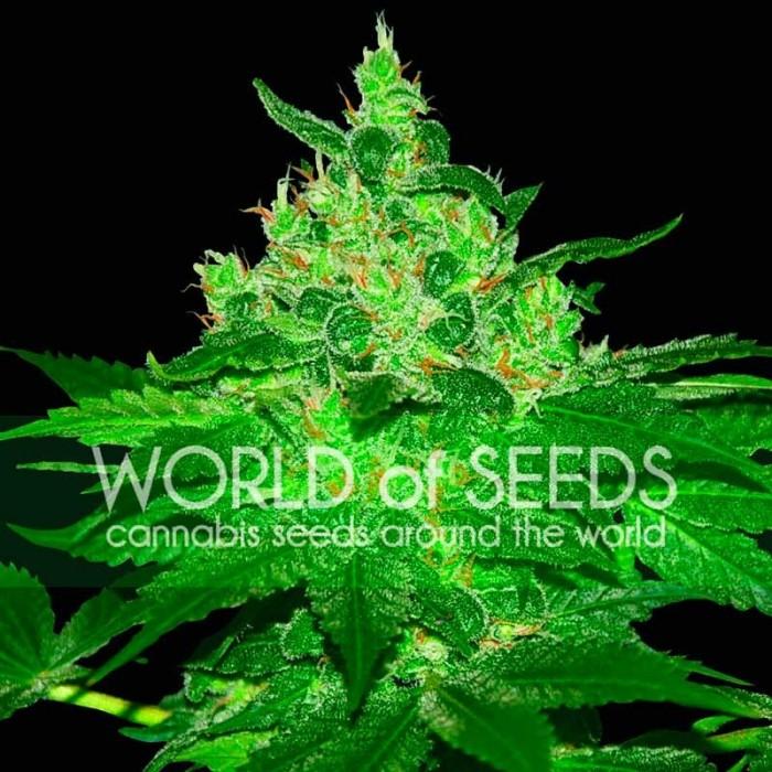 Afghan Kush Feminizada World Of Seeds Cannabis