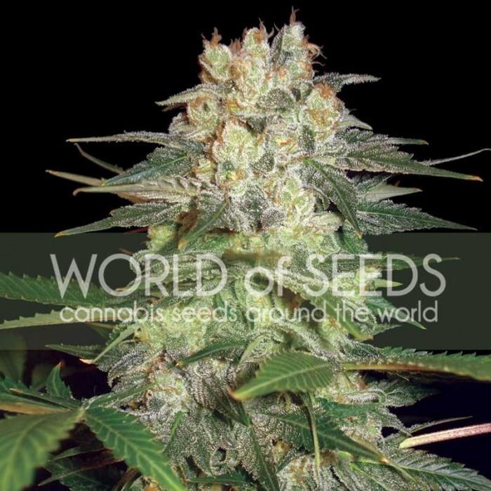 Afghan Kush Ryder Auto (World of Seeds)
