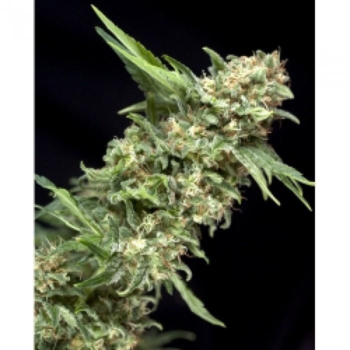 Alpujarreña de Pyramid Semilla Feminizada de Cannabis