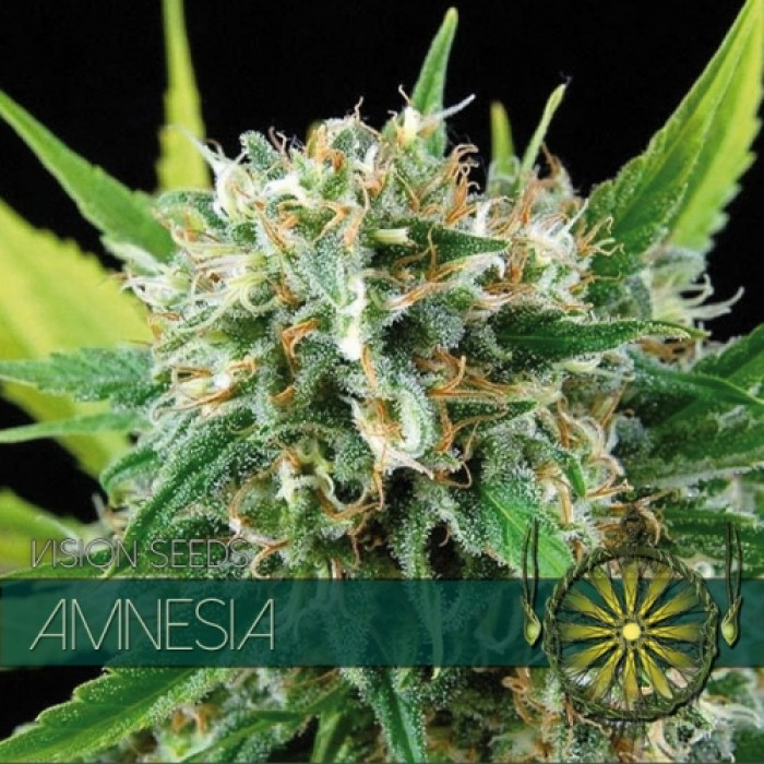 Amnesia (Vision Seeds), Semilla Feminizada