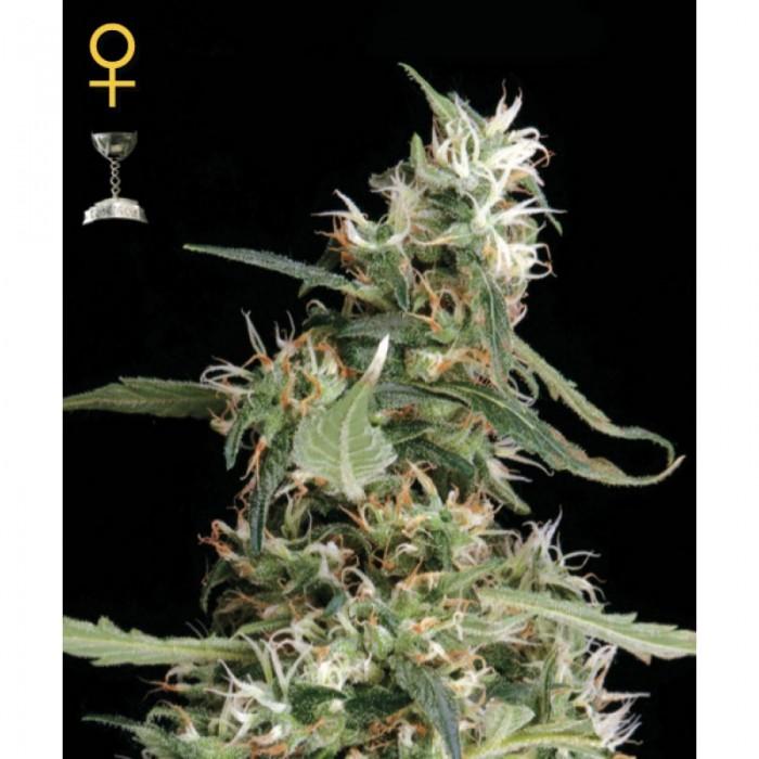 Arjans Ultra Haze #1 (Green House Seeds)