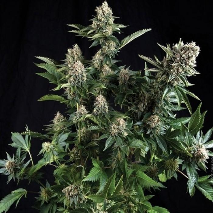 Auto White Widow (Pyramid) Semilla Feminizada Autofloreciente Cannabis-Marihuana