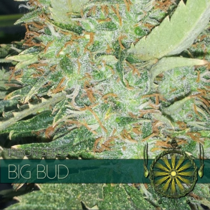 Big Bud semilla marihuana
