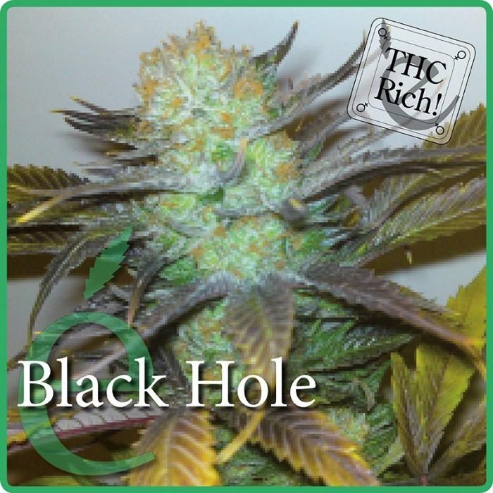 Black Hole (Elite Seeds) Semilla Feminizada