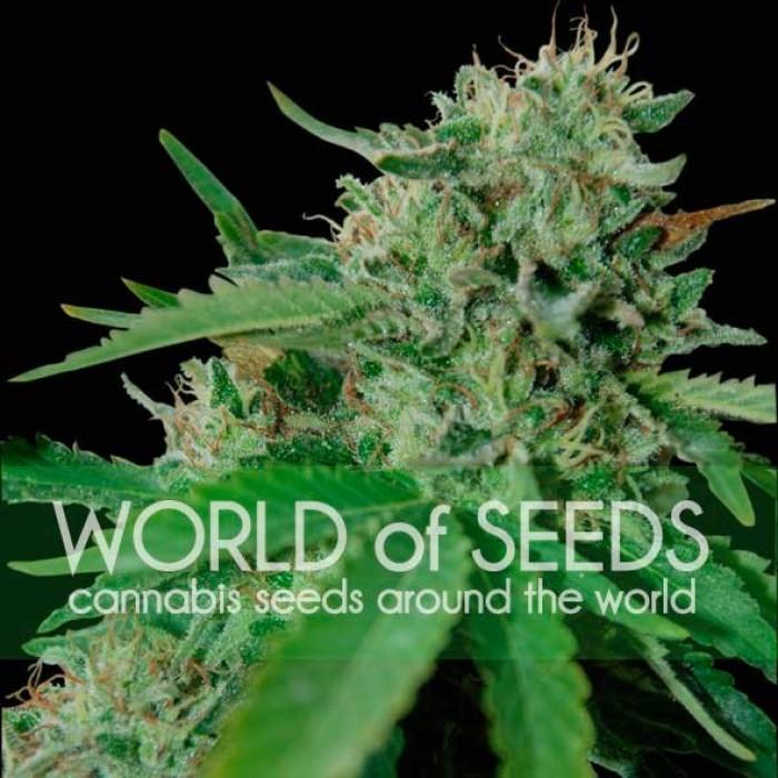 Brazil Amazonia Feminizada (World of Seeds)