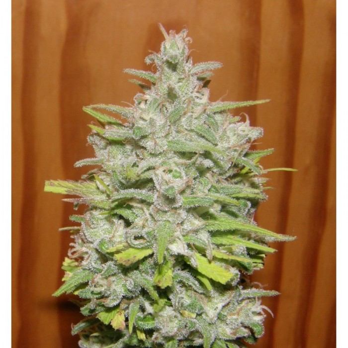 crystal-meth-dr-underground-seeds