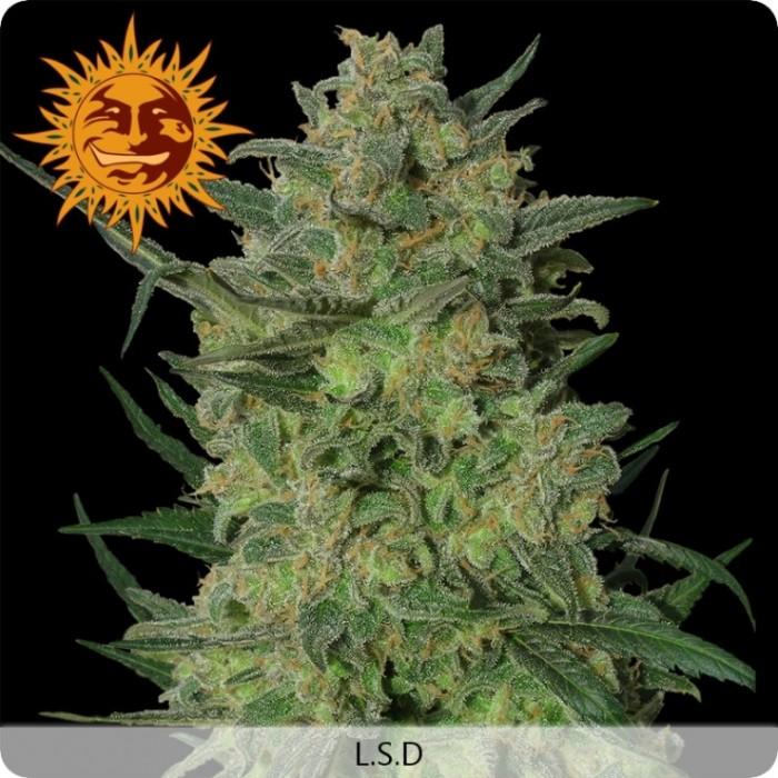 LSD (Barney´s Farm Seeds)