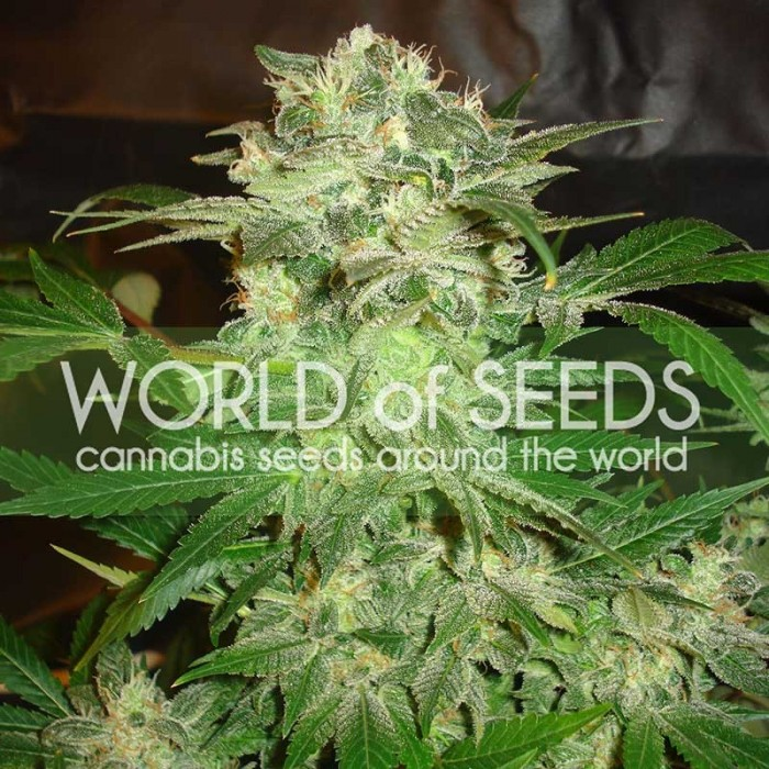 Mazar Kush (World of Seeds) Feminizada