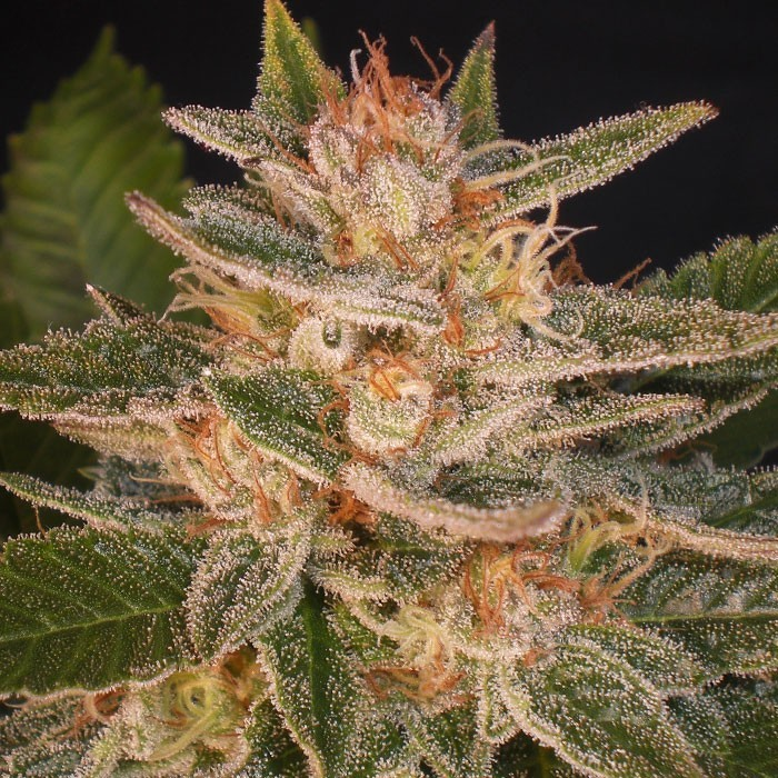 Cheese Candy (Delicious Seeds)