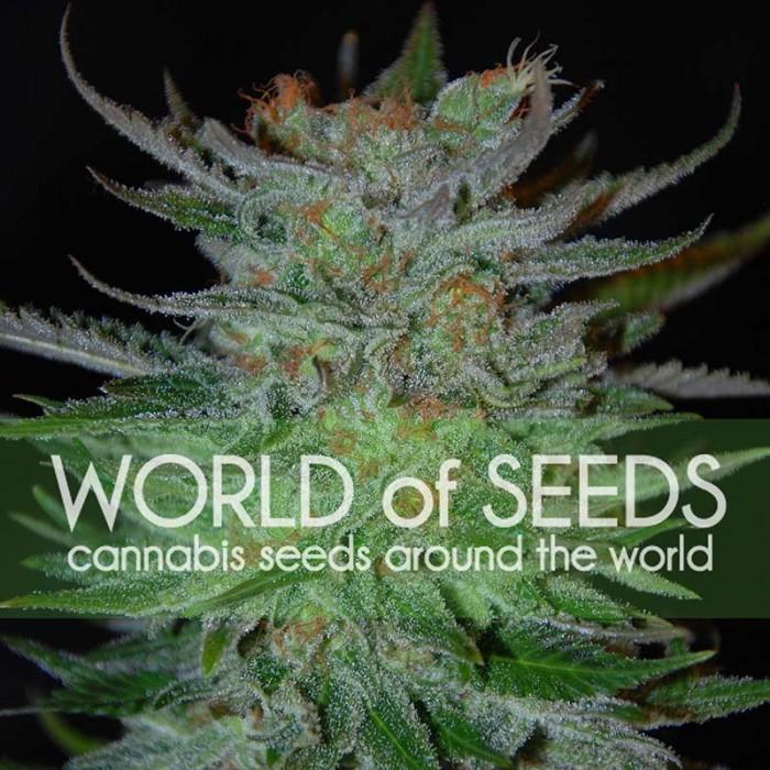 New York Special (World of Seeds) Feminizada