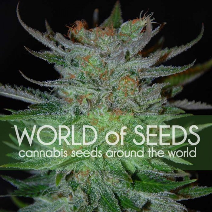 New York 47 ((World of Seeds) Feminizada