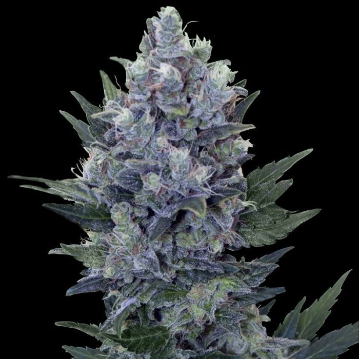 Northern Light Automatic (Royal Queen Seeds) Semilla Feminizada Marihuana Autofloreciente 100%