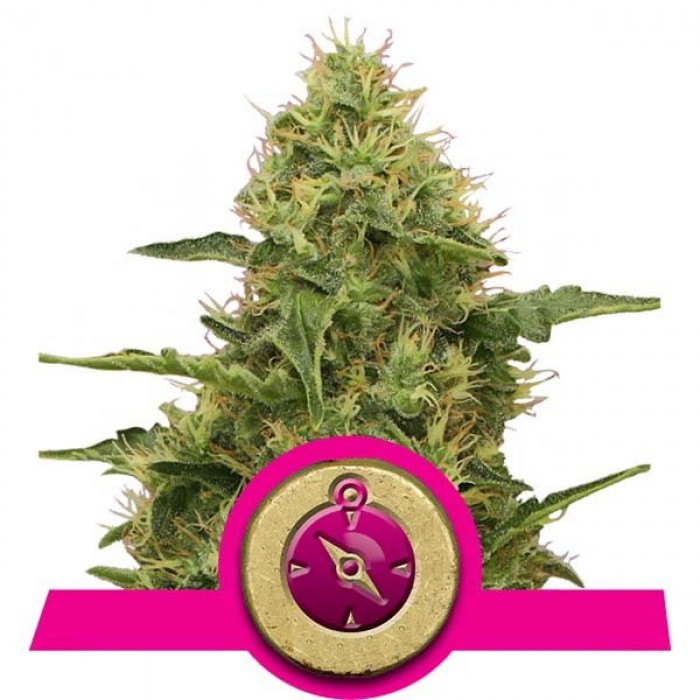 Northern Light (Royal Queen)
