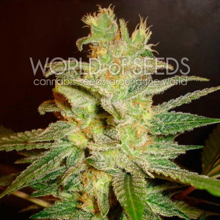 Northern Light x Big Bud (World of Seeds) Feminizada