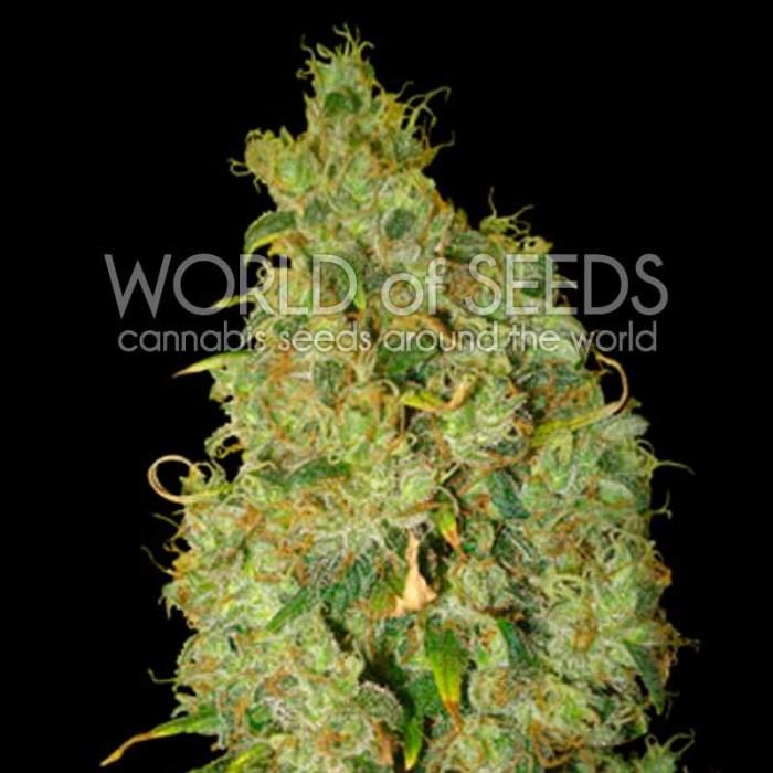 Northern Light x Skunk (World of Seeds)