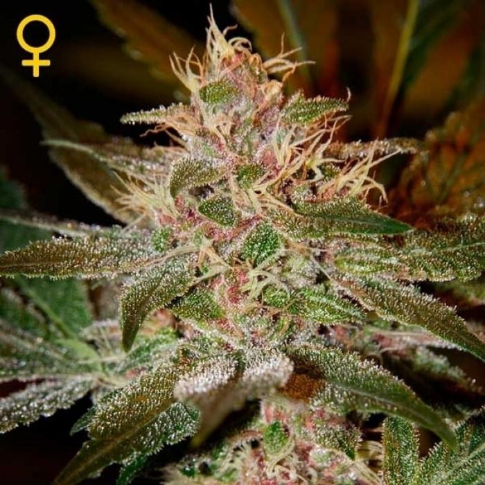 Pure Kush (Greeen House Seeds) Semilla Feminizada Marihuana - CAnnabis