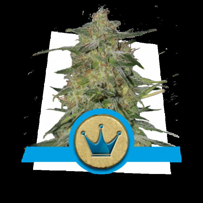 Royal Highness CBD Feminizada (Royal Queen Seeds)