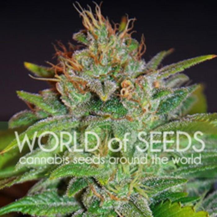 Skunk 47 (World of Seeds) Feminizada